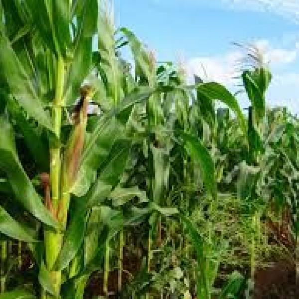Измельченные стебли кукурузы