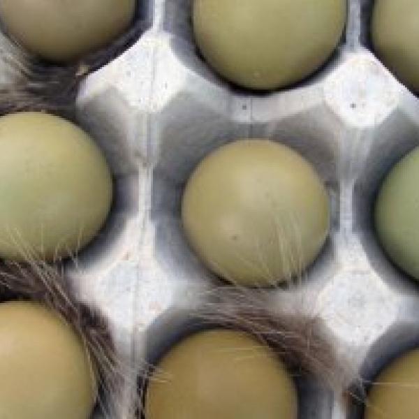 Фазаньи яйца