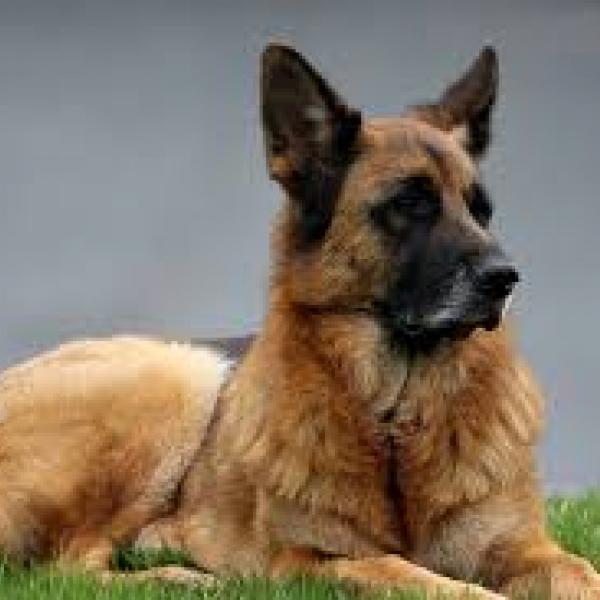 Собака немецкая