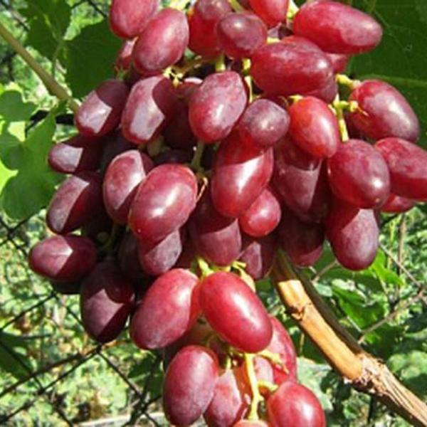 Виноград ичкимар