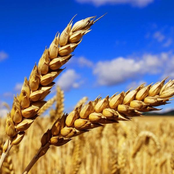 Зерно — плод хлебных злаков, семя зерновых бобовых культур, также семя иных растений