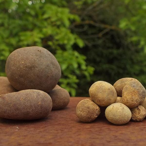 Трюфель гриб - таинственный природный деликатес