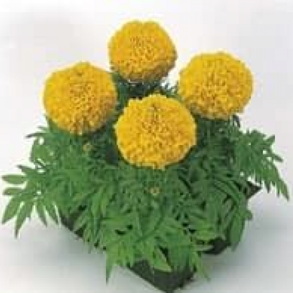Цветы Тагетс лаймн (Tagets limon F1)
