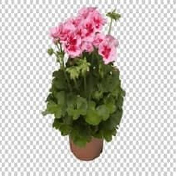 Цветы Герань (Geran F1)