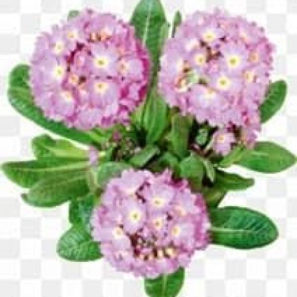 Цветы Вербана (Verbena (алюсин) F1)