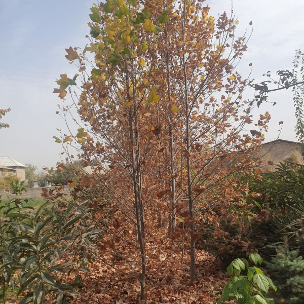 Лола дарахти (Лириодендрон, Тюльпанное дерево)