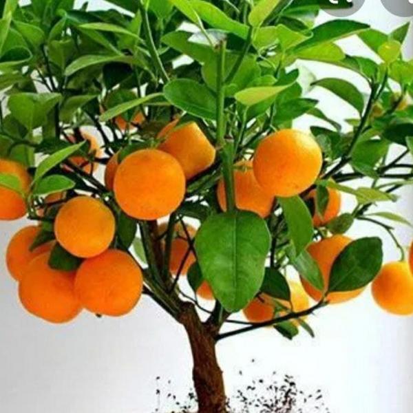 Саженцы апелсин (3 йиллик буйи 1,0м-1,20м)