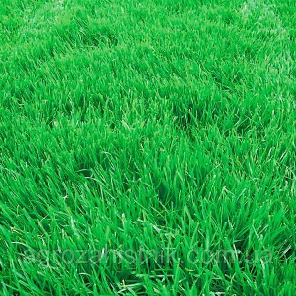 Семена трава овсяница