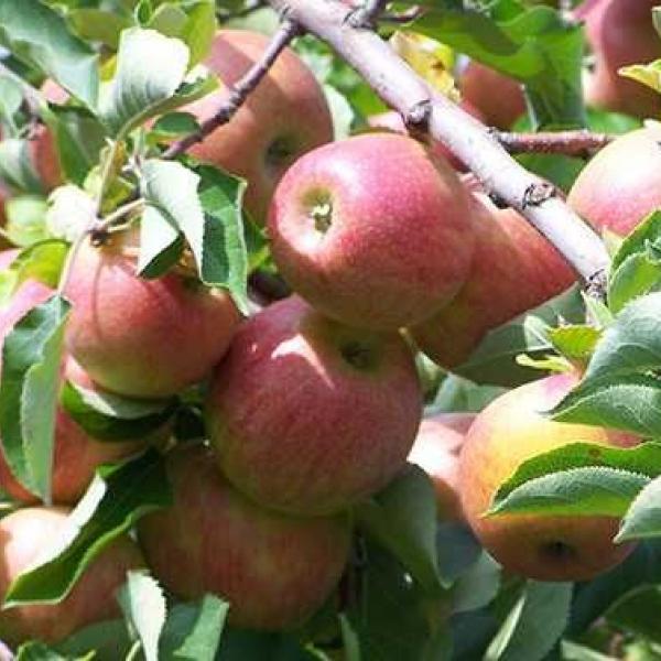 Саженцы яблони / Olma pakana ko'chatlari (golden delishes, stark krimson) navlari mavjud. Sifatli va arzon narxda.