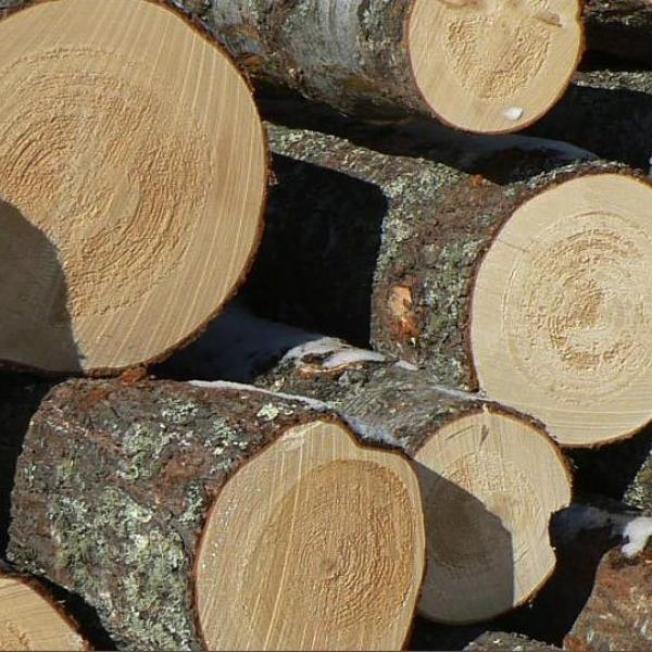 Свежесрезанный лес-кругляк эвкалипта